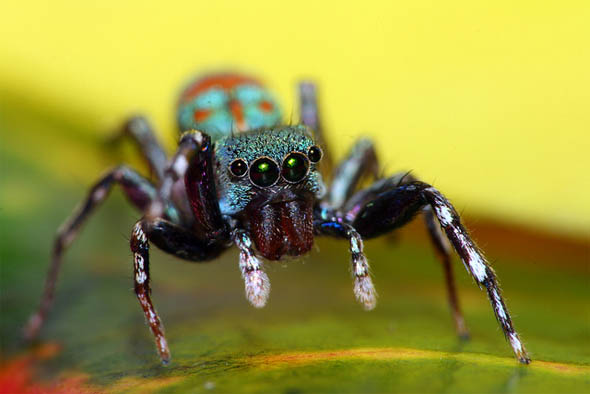 A colorful cute jumping spider42