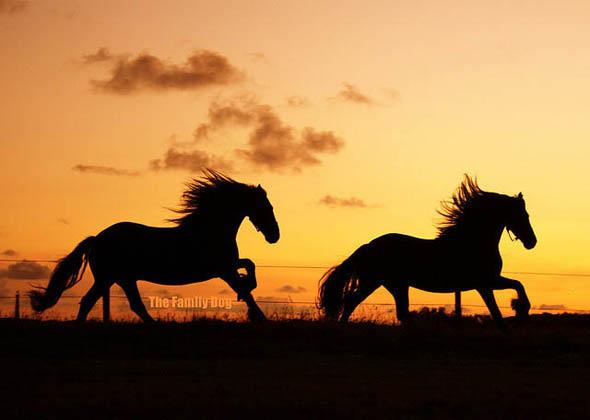 Frisian Horses1