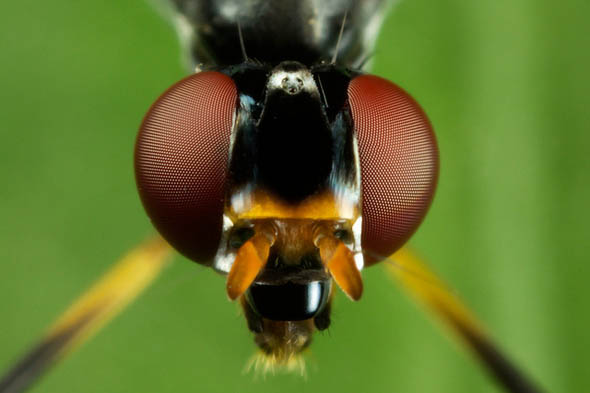 Stilt Legged FLy Portrait34
