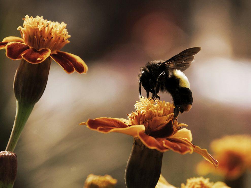 bumblebee-flowers