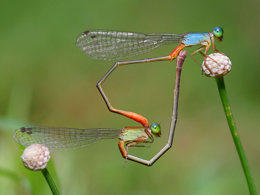 damselflies-heart-shape