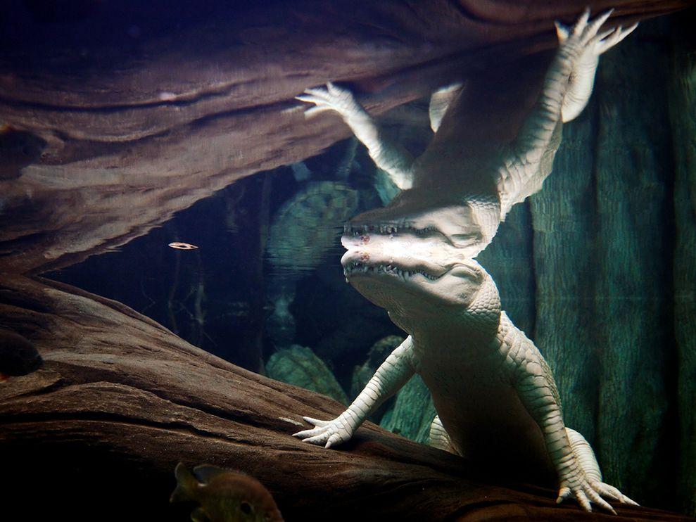 albino-alligator-underwater_22645_990x742