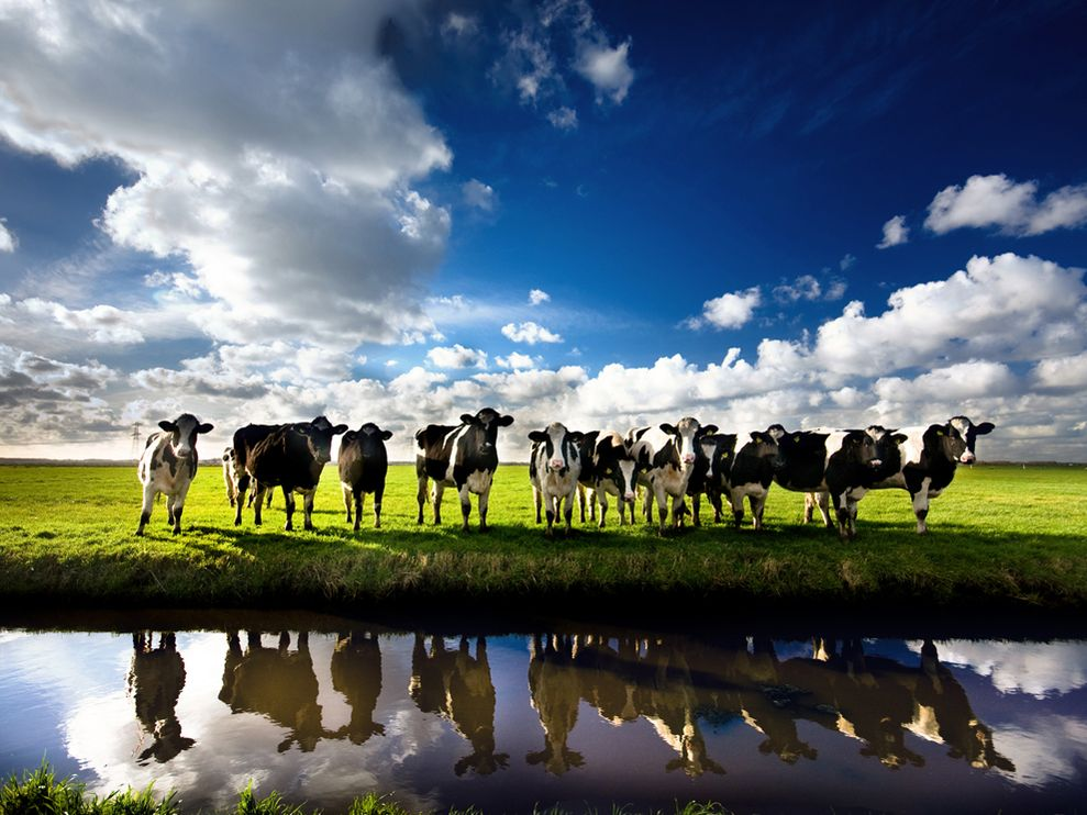 cows-netherlands_25295_990x742