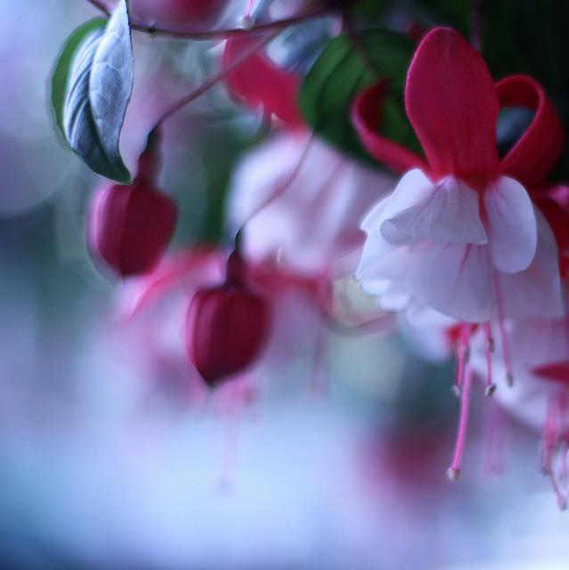 fuchsia_flower_5